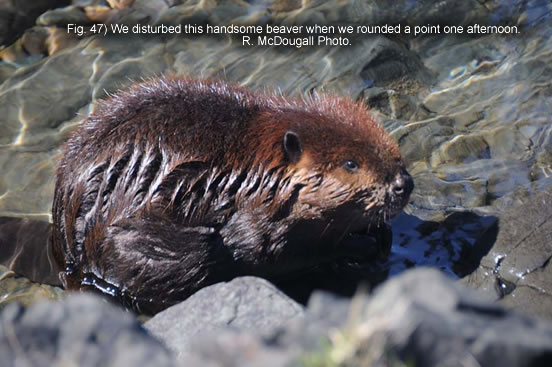 Fig. 47) We disturbed this handsome beaver when we rounded a point one afternoon.